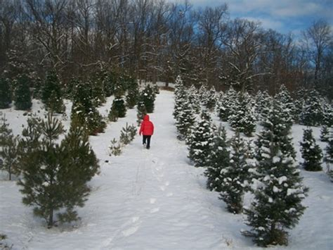 battenfeld s christmas tree farm cut your own tree