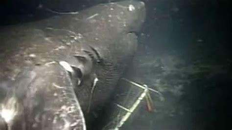 megalodon recent sightings megalodon shark caught on tape largest shark in the world