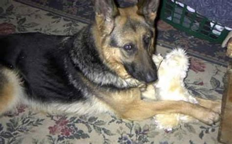 puppy rescue nh german shepherd rescue new hshire photo