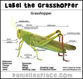 diagram of a grasshopper with label label the grasshopper printable activity sheet from www