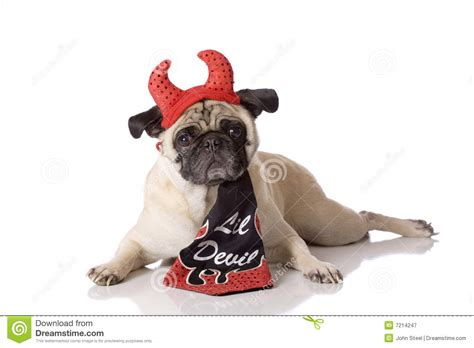 free pug puppies in ct pug in costume royalty free stock photography image beds and costumes