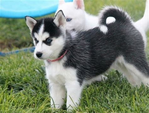 puppies for sale auburn al charming and siberian husky puppies aubum for sale auburn pets dogs