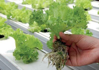 cara membuat nutrisi hidroponik secara organik cara membuat tanaman hidroponik di rumah untuk pemula