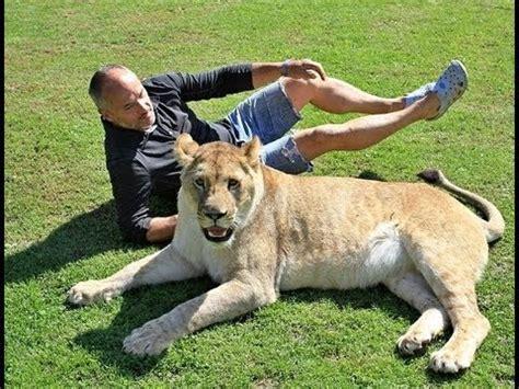 imagenes de leones y gatos vive con leones como mascotas ales basista youtube