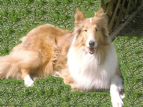 rescue indiana collie rescue of indiana a pet rescue usa