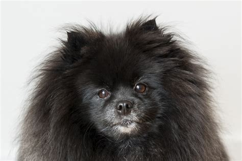 Bismanonline Giveaways - pomeranian giveaway dog breeds picture