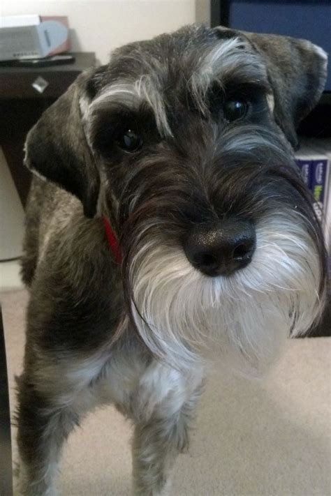 dogs with beards schnauzer haircuts pictures newhairstylesformen2014