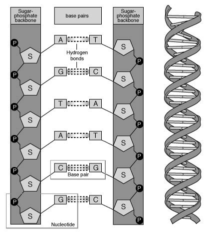protein 5de what is dna structure overview study