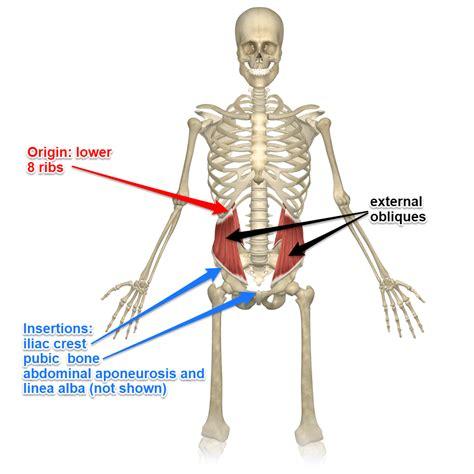 external  internal oblique muscles