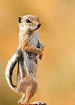 white tailed antelope squirrel wikipedia