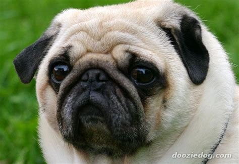 pug breed dogs index of dog breeds pug images