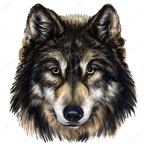 wolf head stock photo 169 modera761101 42242031