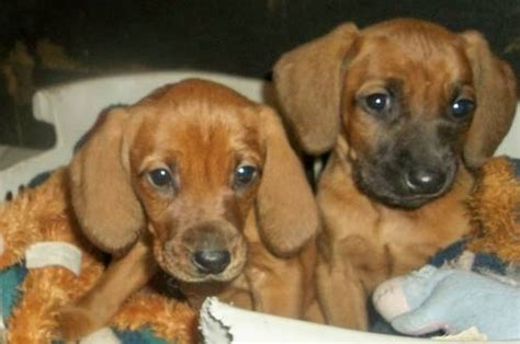purebred redbone coonhound puppies for sale redbone coonhound puppy purebred for sale in scottville michigan classified