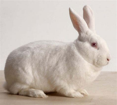 the rabbit the solution to our domesticated issues books bunny breed guide new zealand white rabbit pethelpful