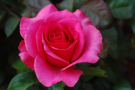 roses are beautiful pink desicomments