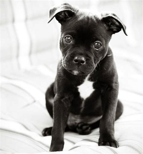 doberman pug mix 1000 images about pet on pug mix pug and pug