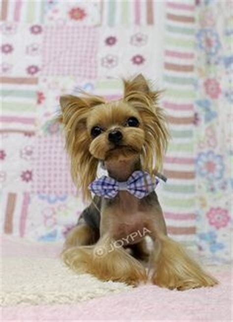 do yorkies human hair 1000 images about on terrier haircut yorkie and