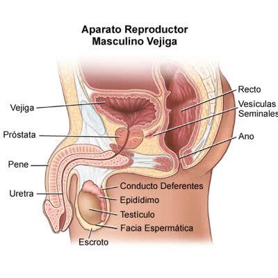 One Of The Biggest Controversies In Reproductive Medicine - test 237 culos vasectom 237 a aparato genital masculino tu