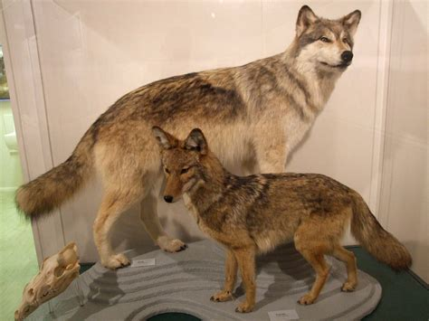 wolf vs wolf vs coyote flickr photo