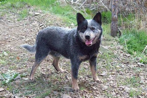 pictures of blue heeler puppies pin blue heeler dogs pictures on