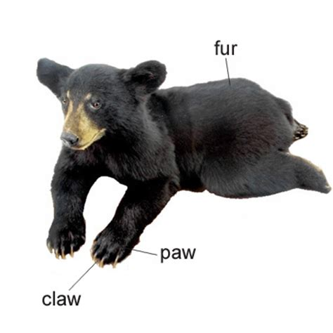 paw meaning paw meaning of paw in longman dictionary of contemporary ldoce