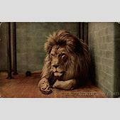 Barbary Lion &q...