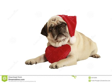 pug santa costume pug santa claus cap royalty free stock photos image 33410068
