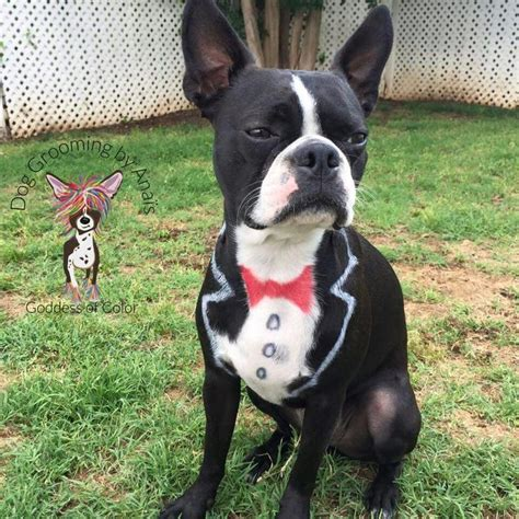 jamberry with boston terrier 510 best creative dog grooming images on pinterest