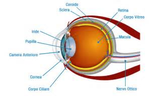le occhio come funzionano l occhio e la vista focusjunior it