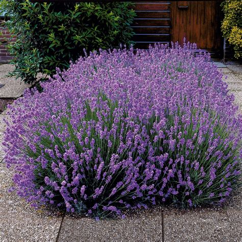 Garten Kaufen Dessau Roßlau by Duft Lavendel Blauviolett Kaufen Bei Ahrens Sieberz