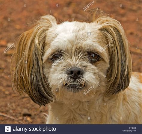 brown maltese puppies of brown and white maltese terrier cross stock photo royalty free image