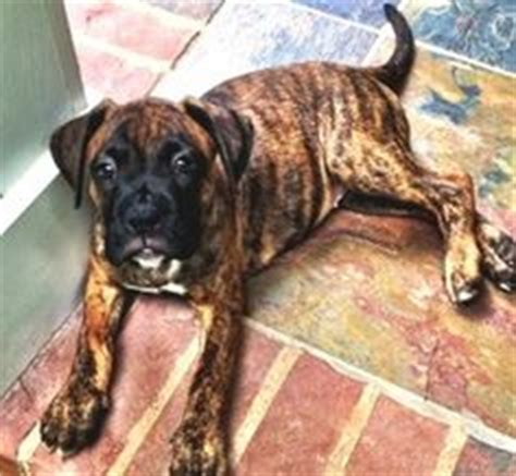 boxador puppies for sale near me boxer lab mix puppies puppies can we keep it boxer lab mixes