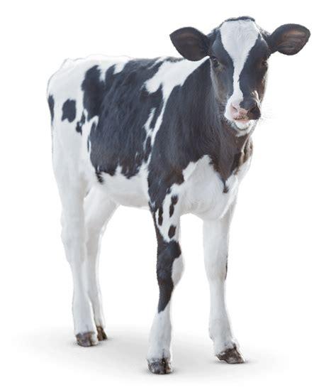 backyard dairy cow dairy cow feed l purina