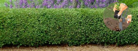 Planter Du Buis by Comment Et Quand Planter Une Bordure De Buis