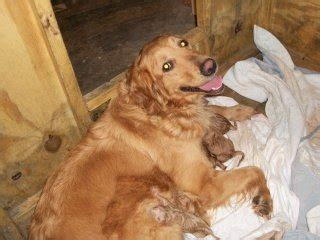 how to take care of a golden retriever puppy care care of newborn puppies