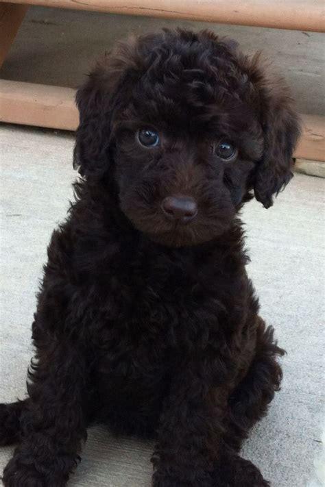 australian labradoodle puppy 25 best ideas about labradoodles on labradoodle puppies golden doodles