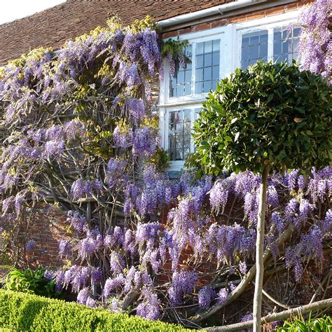 chinese wisteria wisteria sinensis buy chinese wisteria wisteria sinensis delivery by crocus