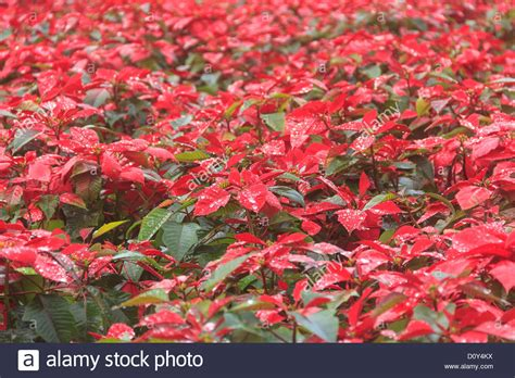 red poinsettia garden with green leaves christmas flower stock photo royalty free image