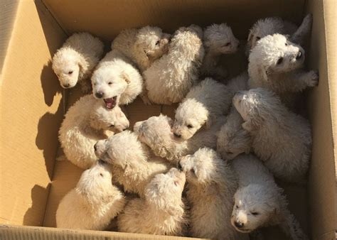 largest litter of puppies napa sheepdog gives birth to 17 puppies in 1 litter in california