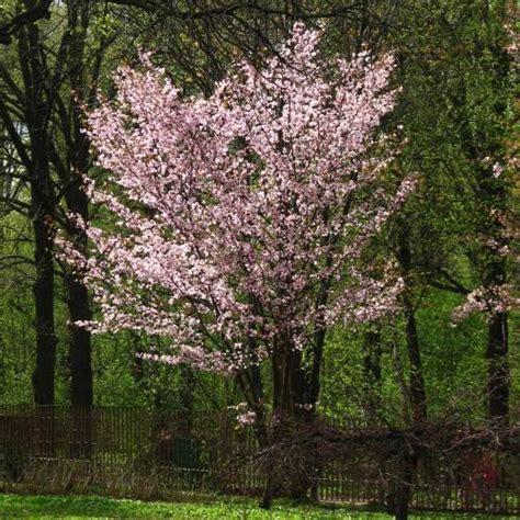 cherry tree auctions types of cherry tree varietals in and around washington dc