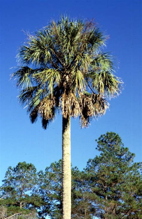 State Of Florida Records Florida Memory State Tree Of Florida