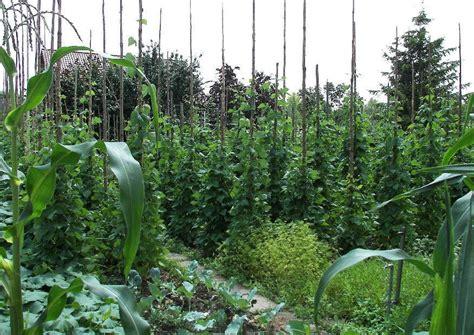 stangenbohnen anbauen besonderheiten der kultur anbau