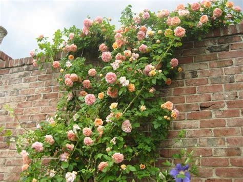 wall climbing plants for your garden climbing roses and an brick wall wall