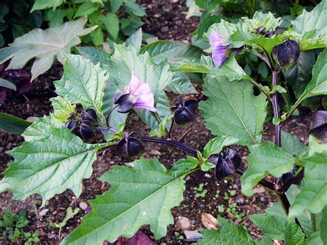 Outside Plants nicandra physalodes violacea