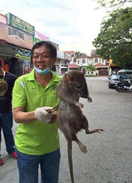 Rats Ass Meme - dinnertime have you ever seen a rat this big https
