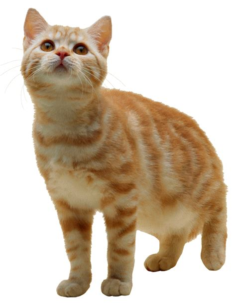 images cats kitten png www imgkid the image kid has it