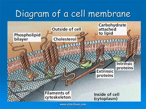diagram of a cell membrane diagram of a cell membrane sliderbase