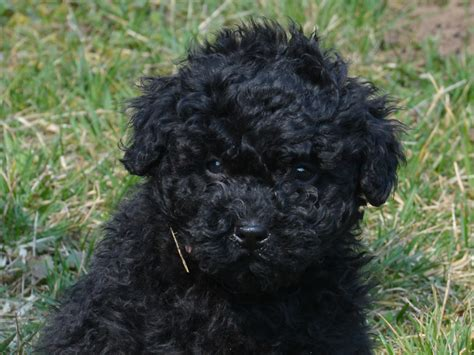 puli puppies for sale boing puli puppy for sale puppy