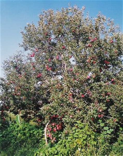 07 fruit tree a bumper himachal apple crop sets in the gloom hill post