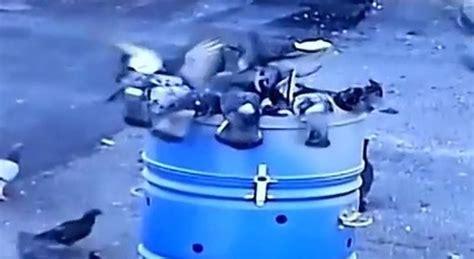 gabbie cattura piccioni troppi colombi scatta la caccia con gabbie dotate di trappole